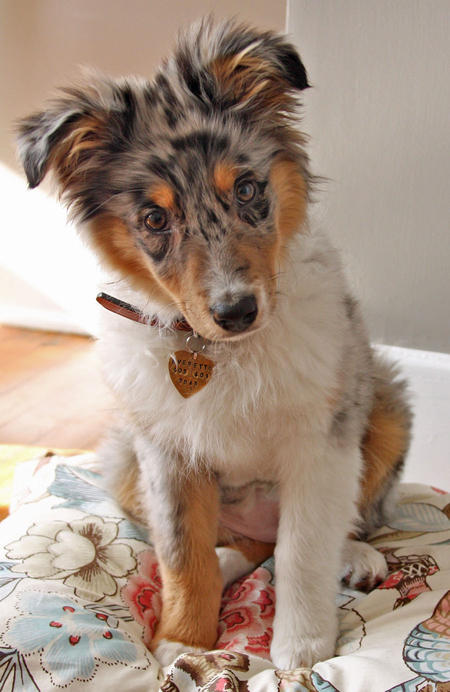 Everette the Australian Shepherd Pictures 873053