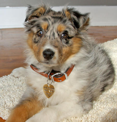 Everette the Australian Shepherd Pictures 873047