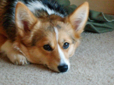 Evie the Pembroke Welsh Corgi Pictures 873767