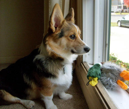 Evie the Pembroke Welsh Corgi Pictures 873768