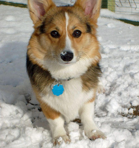 Evie the Pembroke Welsh Corgi Pictures 873770