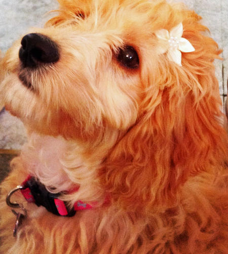 Faith the Goldendoodle Pictures 1018583