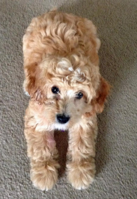 Faith the Goldendoodle Pictures 1018585
