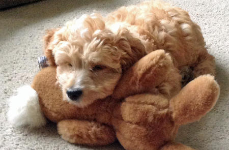 Faith the Goldendoodle Pictures 1018586