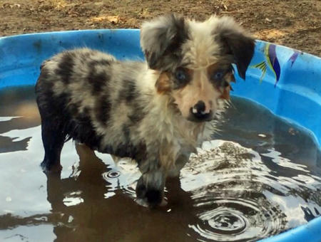 Fancy the Australian Shepherd Pictures 1044913
