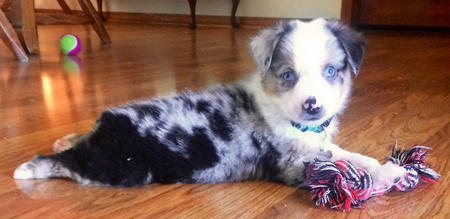 Fancy the Australian Shepherd Pictures 1044914