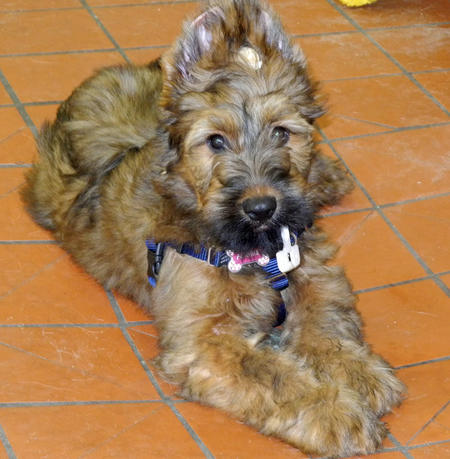 Fergie the Briard Pictures 1033179