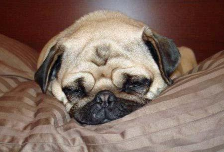 Fergie the Pug Pictures 916143