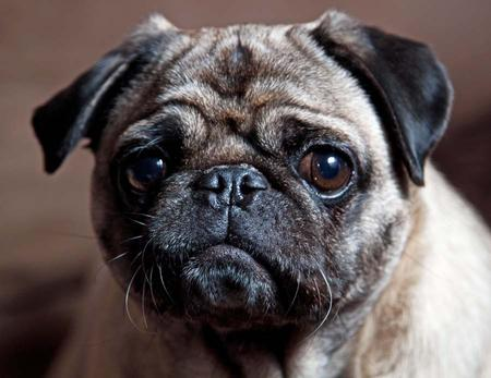 Fergie the Pug Pictures 916138