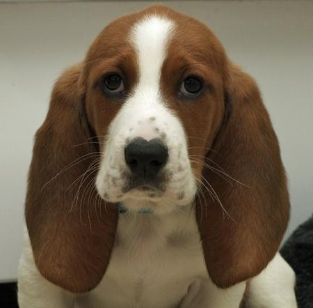 Fergus the Basset Hound Pictures 608307