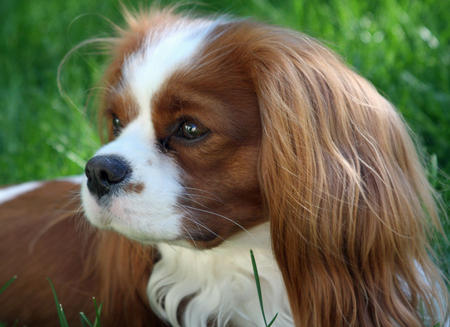 Fergus the Cavalier King Charles Spaniel Pictures 603350