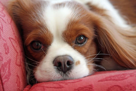 Fergus the Cavalier King Charles Spaniel Pictures 603351