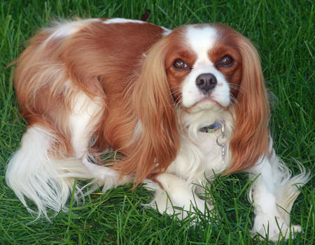 Fergus the Cavalier King Charles Spaniel Pictures 603353