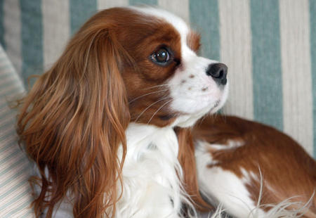 Fergus the Cavalier King Charles Spaniel Pictures 603354
