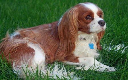 Fergus the Cavalier King Charles Spaniel Pictures 603348