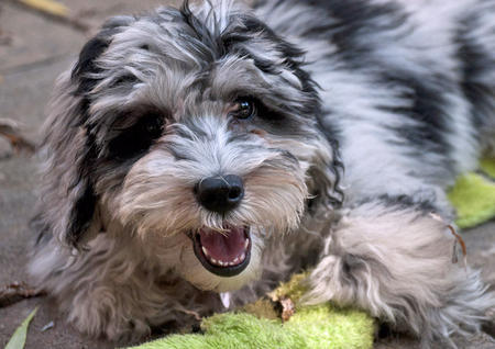 Fidget the Aussiedoodle Pictures 923881