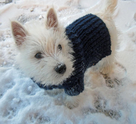 Fidgit the West Highland Terrier Pictures 757555