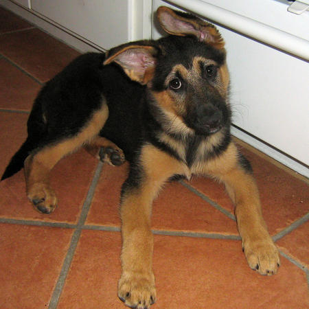 Fiffi the German Shepherd Mix Pictures 1028475