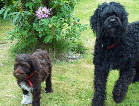 Figo the Portuguese Water Dog Pictures 604480