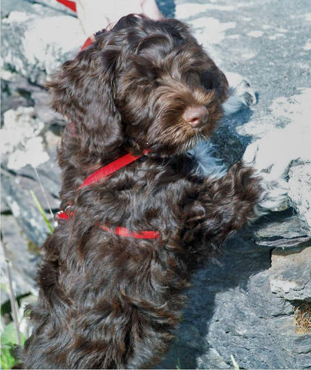Figo the Portuguese Water Dog Pictures 604481