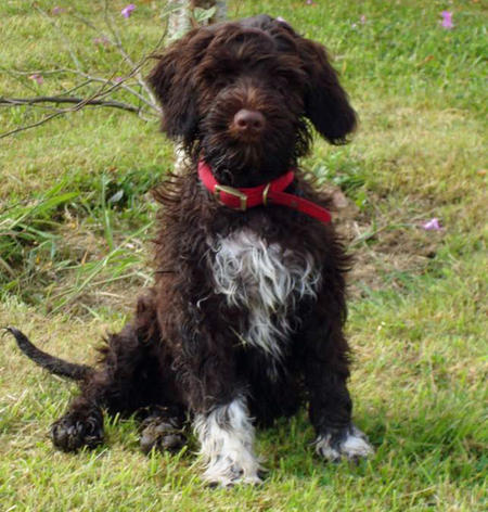 Figo the Portuguese Water Dog Pictures 604485