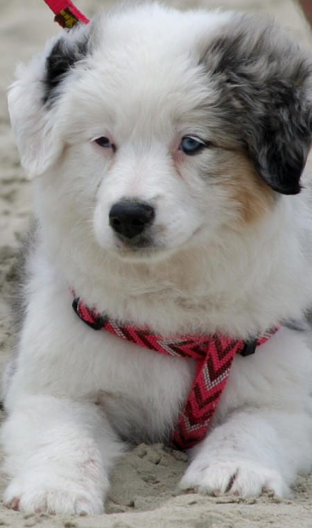 Finley the Australian Shepherd Pictures 990702