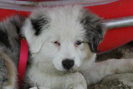 Finley the Australian Shepherd Pictures 1008512