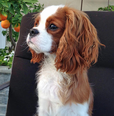 Finley the Cavalier King Charles Spaniel Pictures 984216