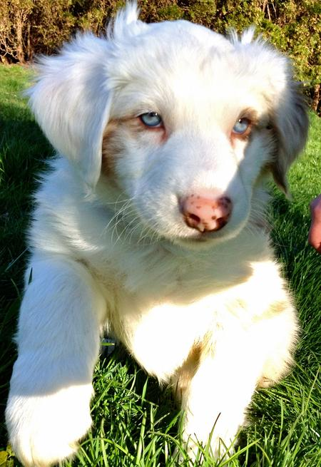 Finn the Australian Shepherd Pictures 911373