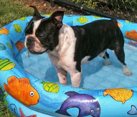 Finn the Boston Terrier Pictures 828914