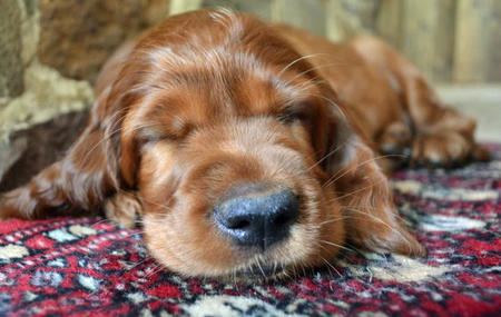Finn the Irish Setter Pictures 813716