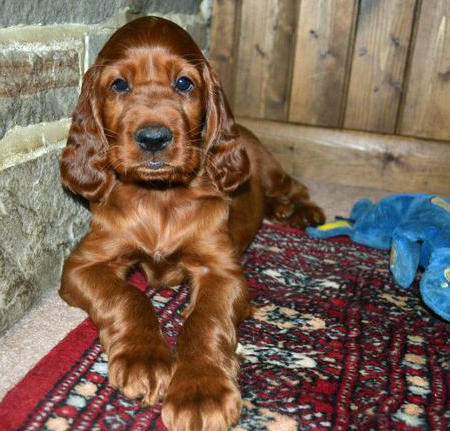 Finn the Irish Setter Pictures 813717