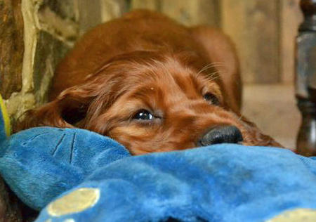 Finn the Irish Setter Pictures 813718