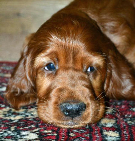 Finn the Irish Setter Pictures 813719
