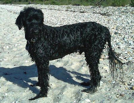 Finn the Portuguese Water Dog Pictures 919493