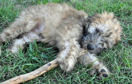 Finnegan the Soft Coated Wheaten Terrier Pictures 725105