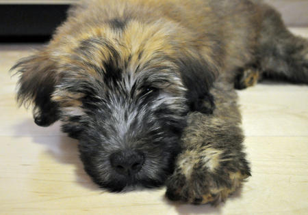 Finnegan the Soft Coated Wheaten Terrier Pictures 725101