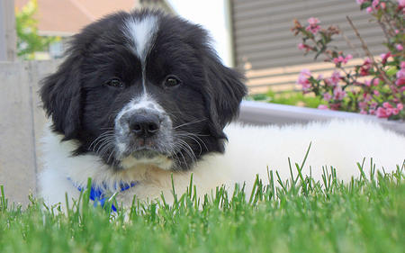 Finnigan the Newfoundland Mix Pictures 974796