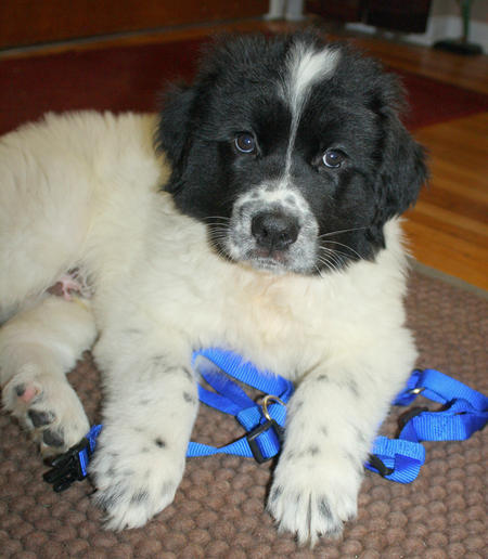 Finnigan the Newfoundland Mix Pictures 974798