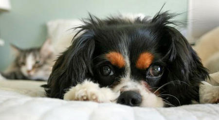 Fiona the Cavalier King Charlies Spaniel Pictures 767286