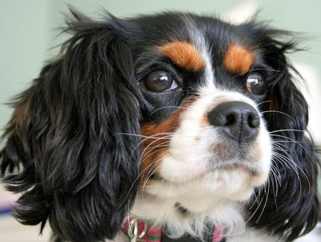 Fiona the Cavalier King Charlies Spaniel Pictures 767287