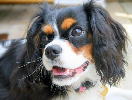 Fiona the Cavalier King Charlies Spaniel Pictures 767283