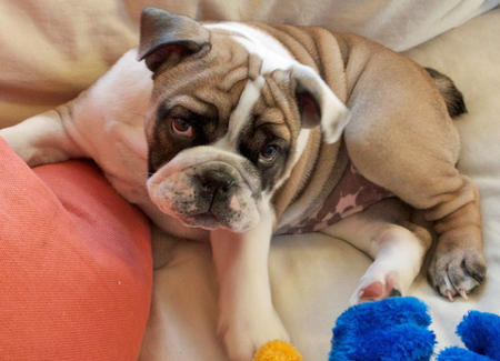 Fiona the English Bulldog Pictures 1035704