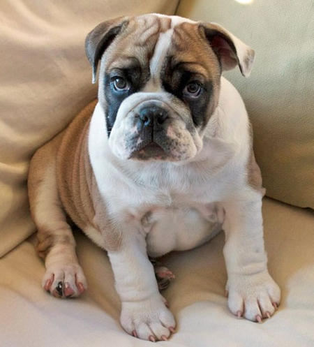 Fiona the English Bulldog Pictures 1035705