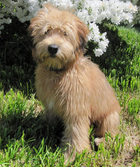 Fira the Soft Coated Wheaten Terrier Pictures 891334