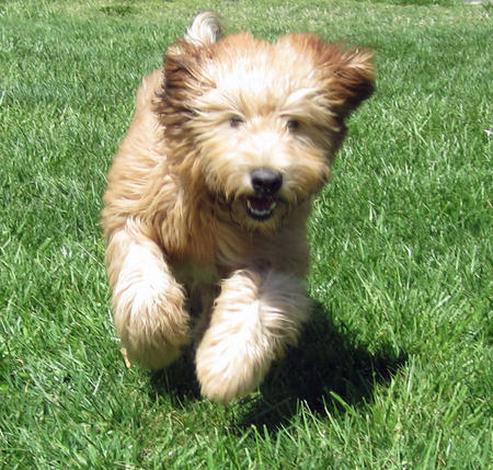 Fira the Soft Coated Wheaten Terrier Pictures 891335