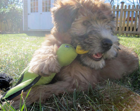 Fira the Soft Coated Wheaten Terrier Pictures 891333