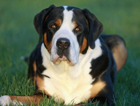 Flash the Greater Swiss Mountain Dog Pictures 464982
