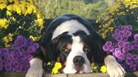 Flash the Greater Swiss Mountain Dog Pictures 464983