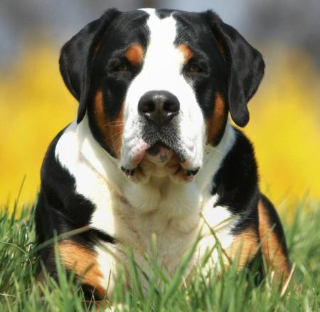 Flash the Greater Swiss Mountain Dog Pictures 464985